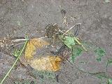 枝豆畑のカエル