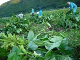 枝豆収穫風景③