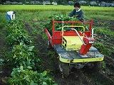 赤いトラクターに枝豆を積む