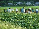 枝豆収穫風景④