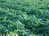 朝の風景④ 枝豆畑