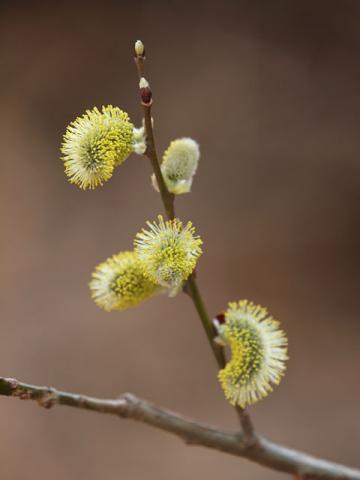 咲いたバッコヤナギ