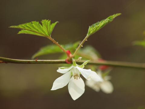 モミジイチゴ花