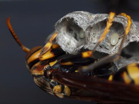セグロアシナガバチ卵