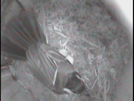 シジュウカラ親抱卵