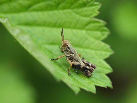 フキバッタ幼虫