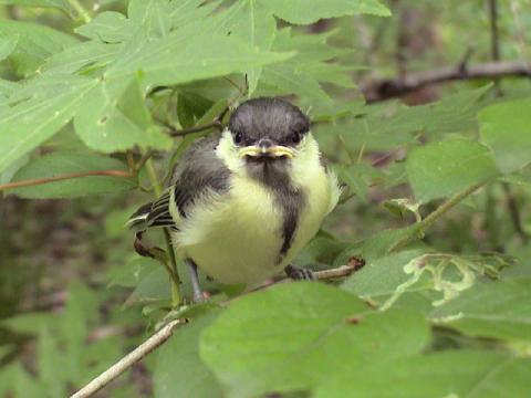 シジュウカラ巣立ち雛1