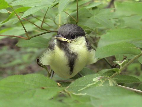 シジュウカラ巣立ち雛2