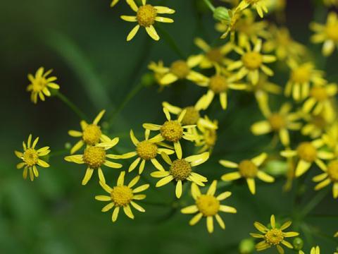 サワギク花