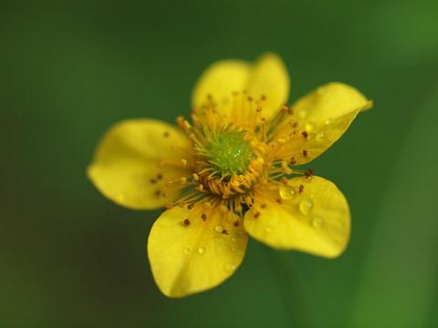 ダイコンソウ花