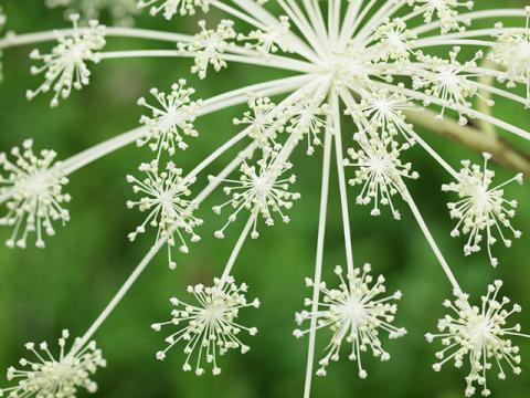 シシウド花