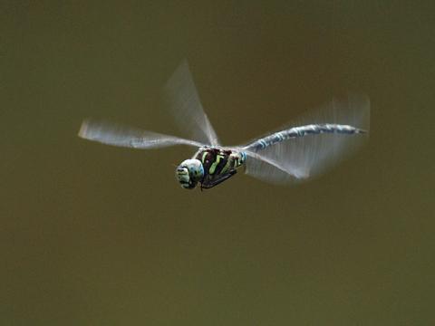 オオルリボシ♂飛翔