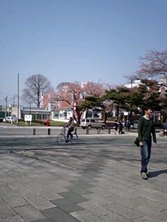 十和田の桜