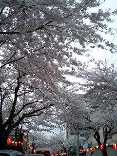 桜川の桜2