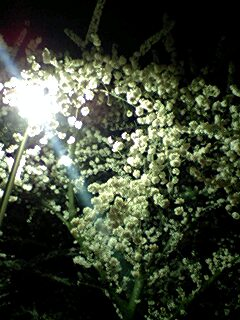 合浦の夜桜3