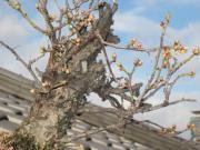 08梅盆栽