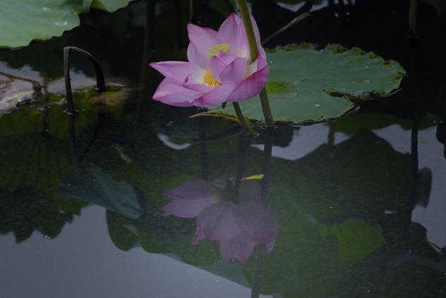 不忍池の蓮