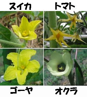 野菜の花です