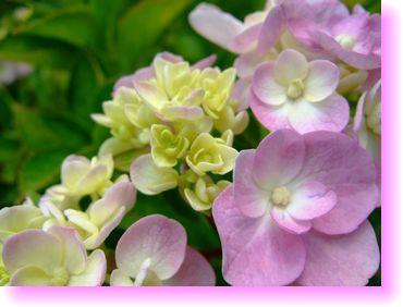 紫陽花さん♪