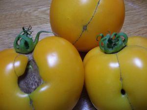 トマトの裏