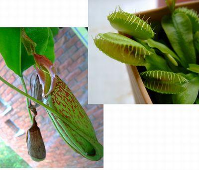 食虫植物~