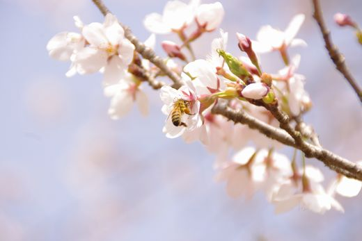 ハチさんと桜