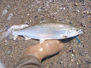 2010.4.4海サクラ島牧