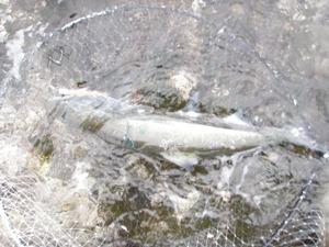 2010.5.6.熊石海サクラ
