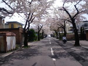 2010.柏木町桜通り