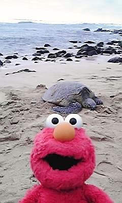 ハワイ・ウミガメ