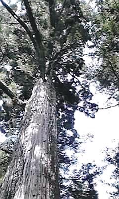 牡丹杉ご神木