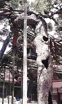 瑞泉寺昇龍の松