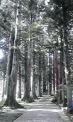 雄山神社参道の杉並木
