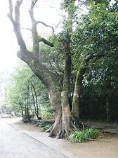 江田神社ご神木