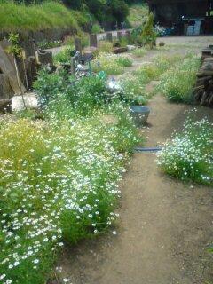 カモミールの庭