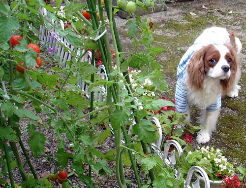 僕のトマト畑
