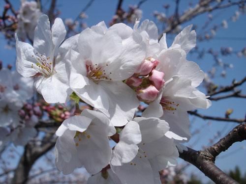 桜のおだんご