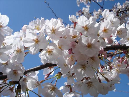 桜と青空と