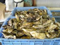 赤穂坂越の牡蠣