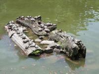 猿沢池の亀たち