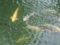 桃山公園 春日大池 鯉