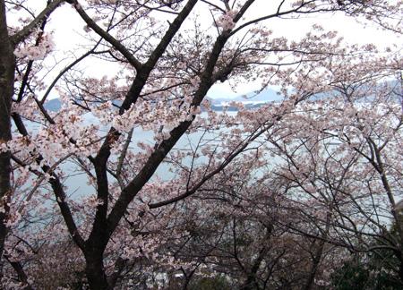 桜と瀬戸内海4
