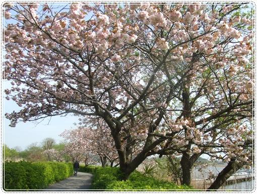 八重桜1 005