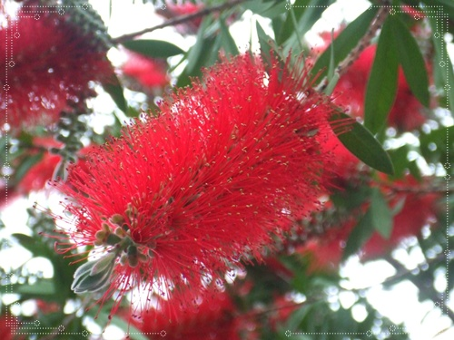 ブラシの木 043花