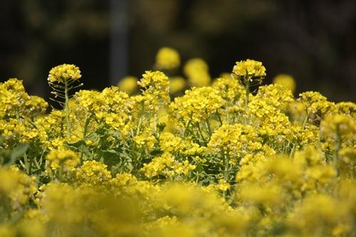 007菜の花