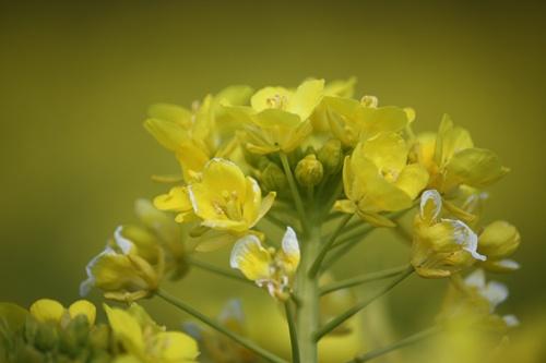 96菜の花