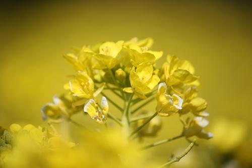 91菜の花