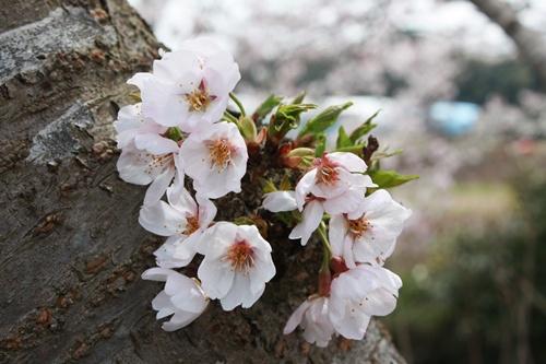598桜部分
