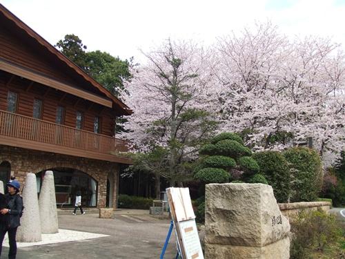 カタクリ・桜 013tega