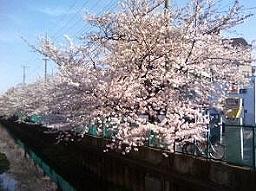 桜が見頃。今日は花見日和。